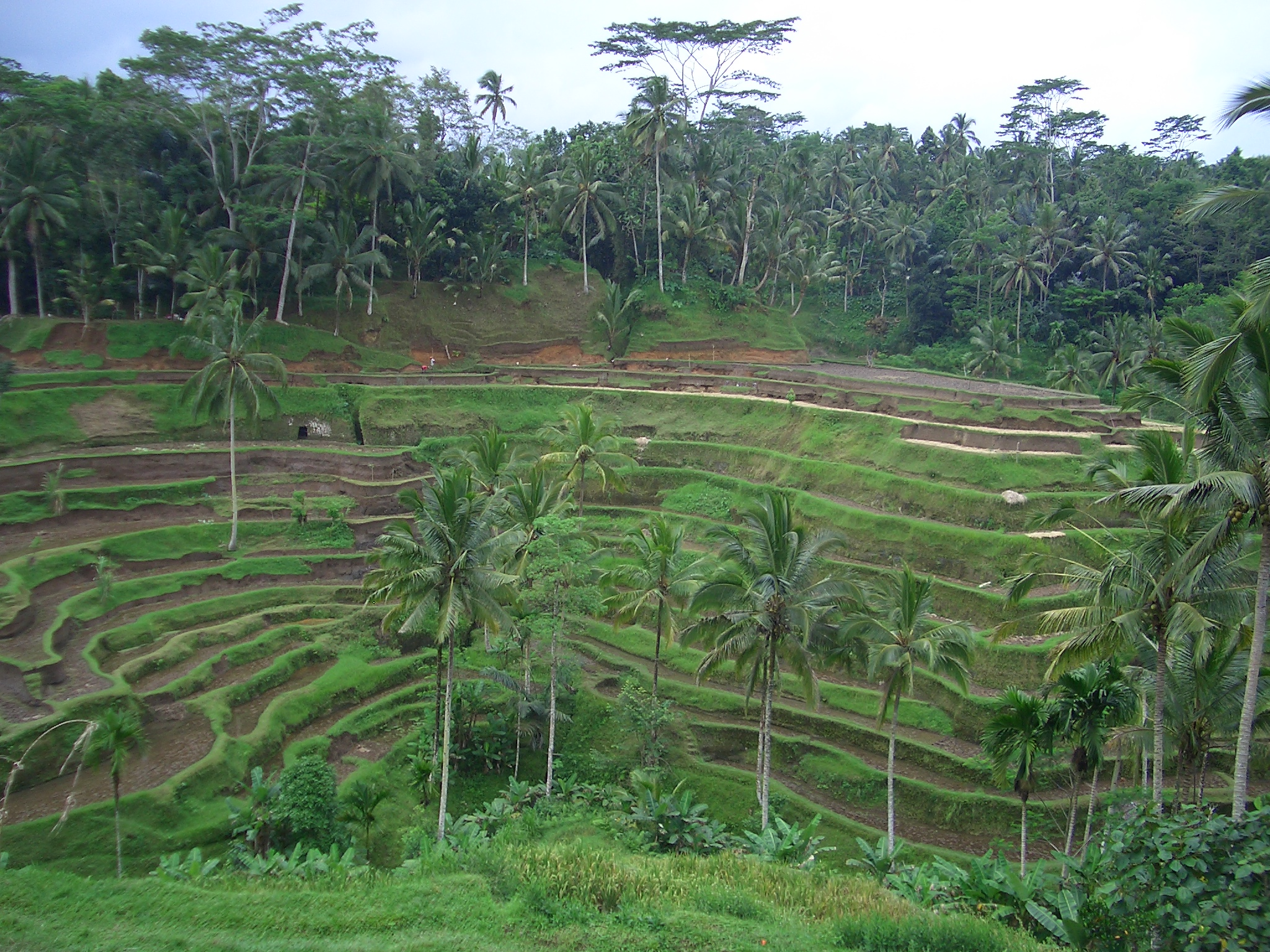 Bali . Le risaie